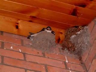 Animals Photographs - Picture of Swallows birds in nest under eaves of house