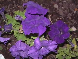 Flowers Photographs - Picture of Blue and purple pertunia in bed