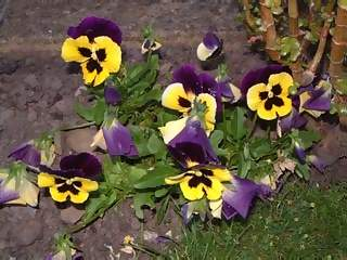 Flowers Photographs - Picture of Bright yellow and purple pansies pany flowers