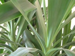 Flowers Photographs - Picture of Closeup of Green Leaves of Yukka Plant
