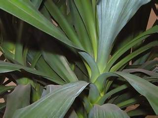 Flowers Photographs - Picture of Closeup of Leaves of Yukka Plant