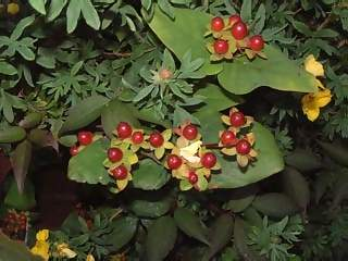Flowers Photographs - Picture of Smal red berries against green leaves
