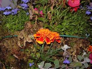Flowers Photographs - Picture of Small colourful orange yellow blue and pink flowers in the side of a hanging basket