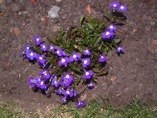 Flowers Photographs - Picture of Tiny purple and white flowers in flower bed