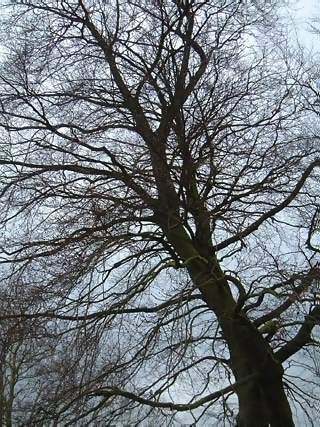 Views Photographs - Picture of A large tree without leaves in winter