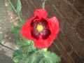 Red Yellow and Black Poppy - Red,Yellow,and,Black,Poppy