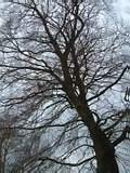 A large tree without leaves in winter - A,large,tree,without,leaves,in,winter